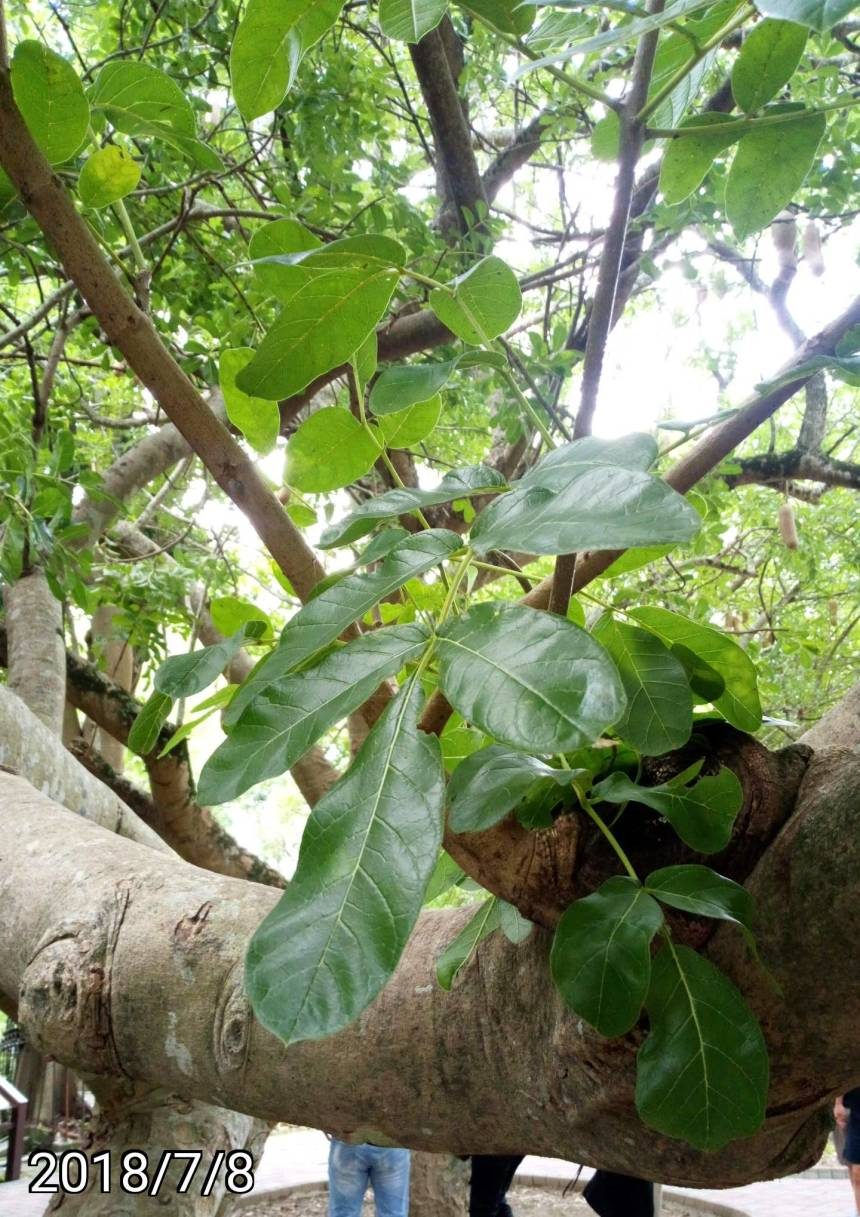 臘腸樹的葉、leaves of Kigelia africana,  sausage tree, cucumber tree